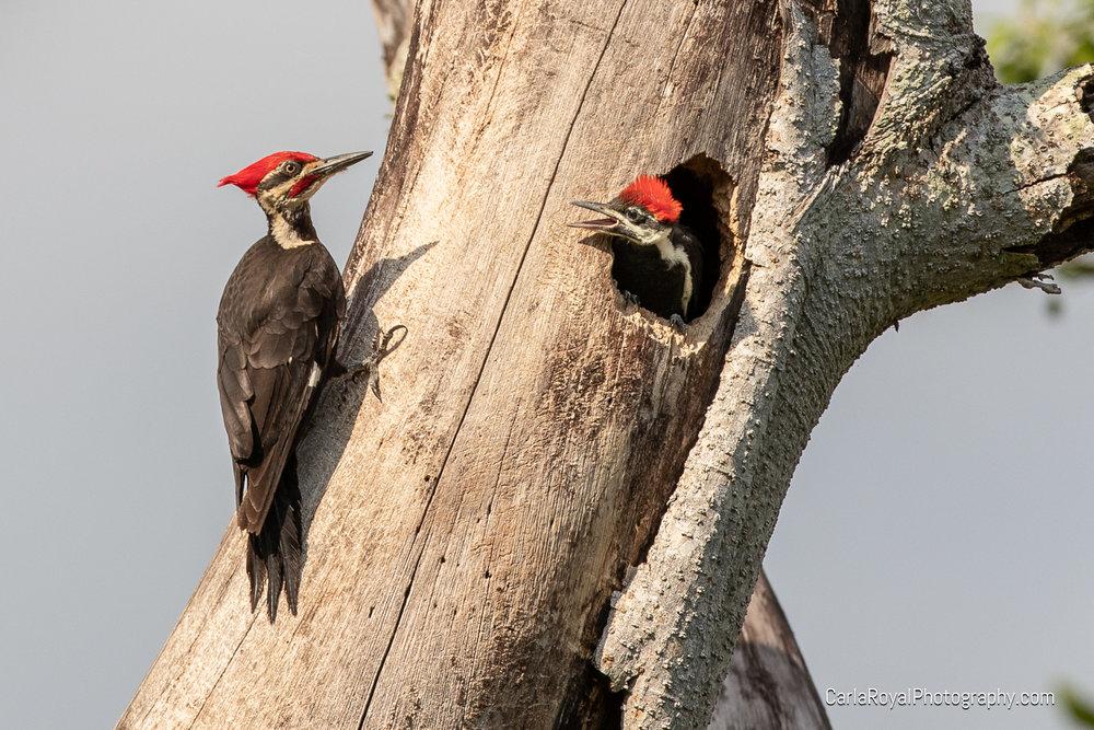 woodpecker-4.jpg