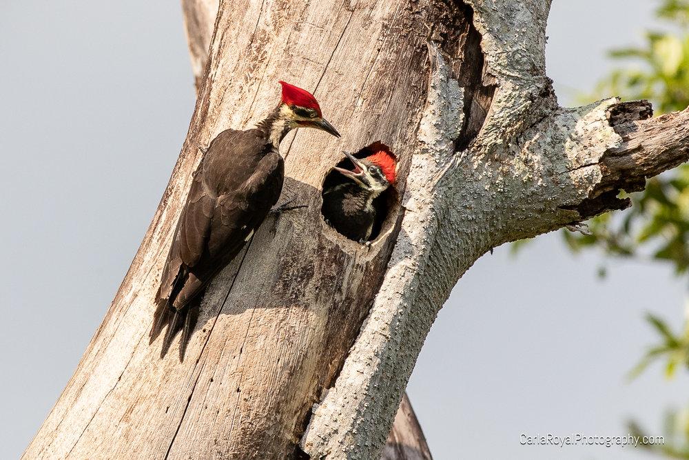 woodpecker-7.jpg