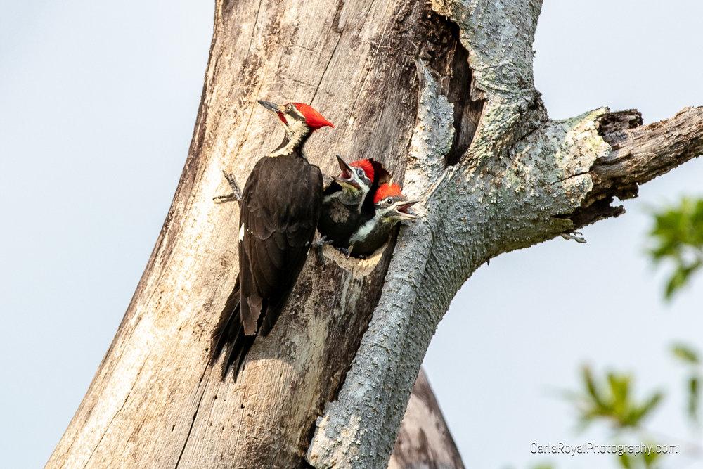 woodpecker-8.jpg