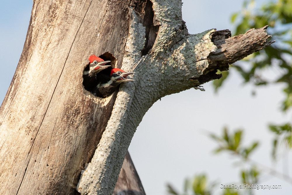 woodpecker-17.jpg