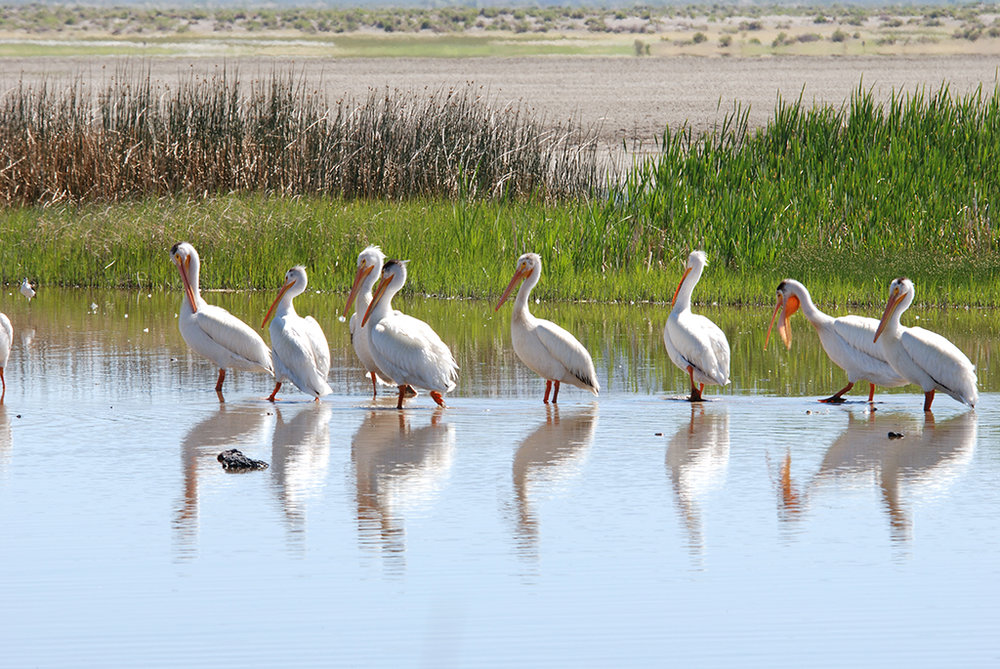Pelicans_Summer Lake-Small.jpg