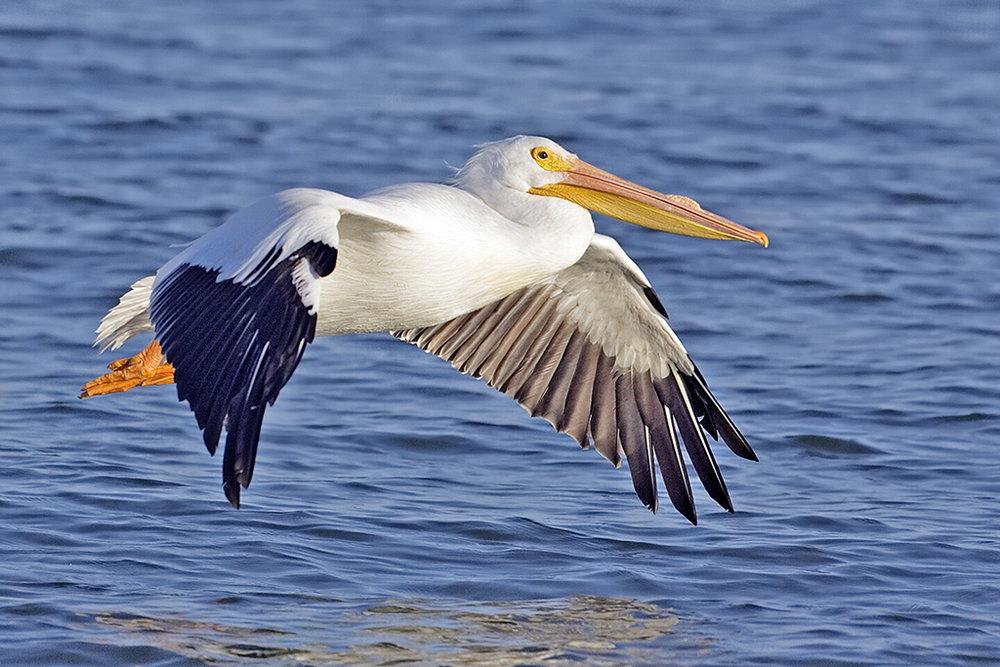 pelican_small.jpg
