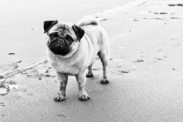 Robert the Pug | September 2015