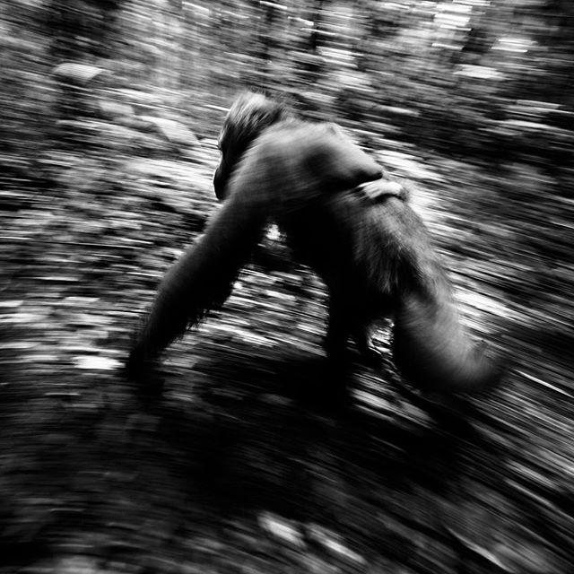 Let's do one more black and white- it's not really my style, but for some reason I tend to do it more and more. . Orangutan with her youngster - what an incredible experience! #borneo #wildlife_seekers #wildlife_perfection #excellent_nature #eXclusive_animals #orangutang #terrific_animals #ic_nature #ic_animals #ig_exquisite #instanaturefriends_ #picturetokeep_nature #pro_ig #animal #AnimalElite #allnatureshots #global_hotshotz #jaw_dropping_shots #marvelshots #master_shots #nature #nofilter #naturelovers #bestnatureshots #animallovers #animalsaddict #animal_sultans #naturephotoportal