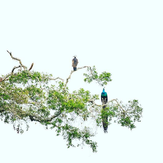 It doesn't get much more flamboyant than the peacock! . #wildlifeplanet #earthimage #globaldaily #WildlifeAddicts#Wildlifepage #discoverwildlife #anmlsworld #exclusive_animals#animalplanet_Fan #wildlifecentral #insta_animal #naturegeography #natureaddict #earthimage #allnatureshots #discoverearth #nature #srilanka #peacock