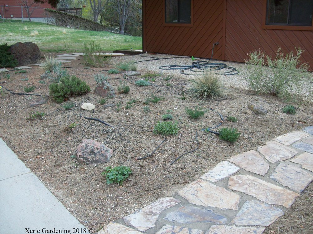 YEAR 2  Watering started mid-May, every other week. Plants include native buckwheats, globemallow, evening primrose, flax, hotrock penstemon, silver sagebrush, and broom snakeweed.