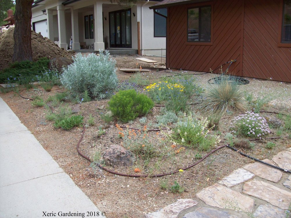 YEAR 3  This xeriscape will continue to be watered every 3 weeks through the summer. Even though the drip line is visible here, it can easily be buried.