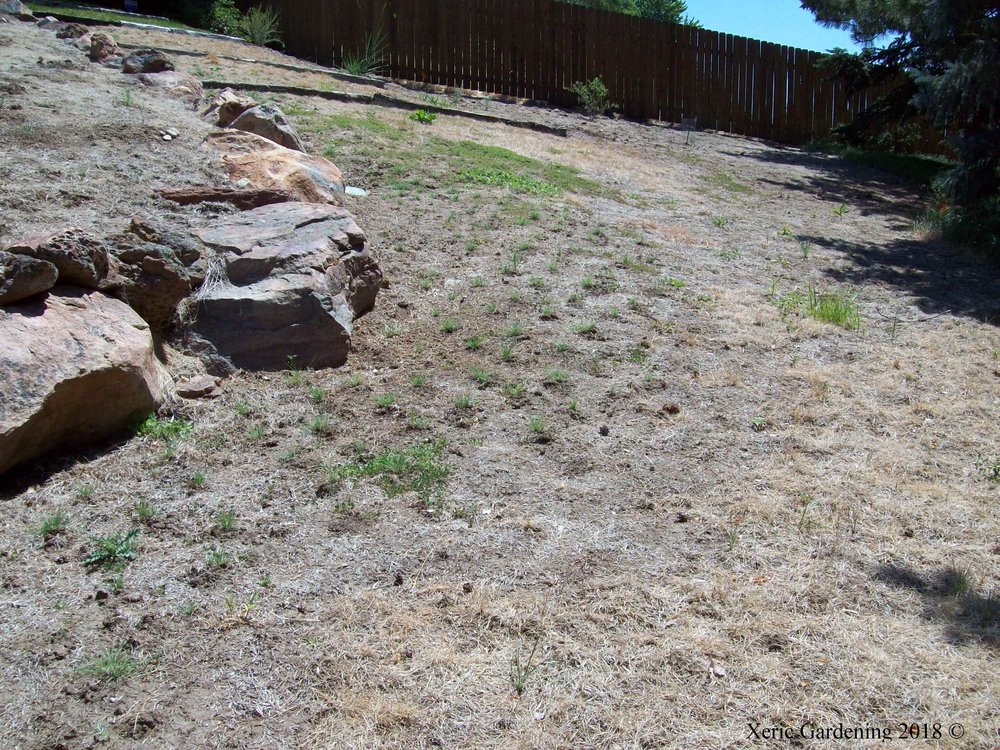 Jacks Buffalo Grass Plugs.JPG
