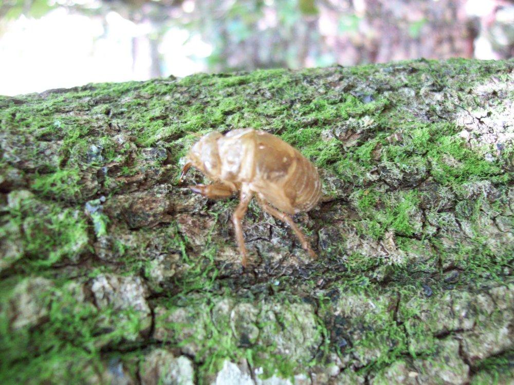 Empty Cicada Exoskeleton