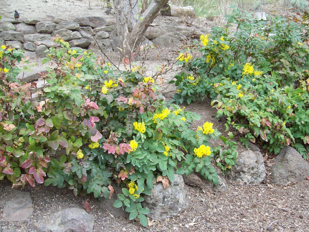 Mahonia repens,  Creeping Oregon Grape