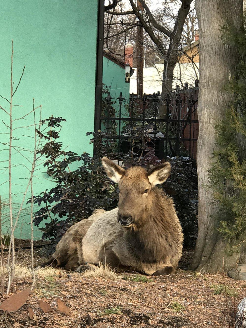 Elsie the Elk