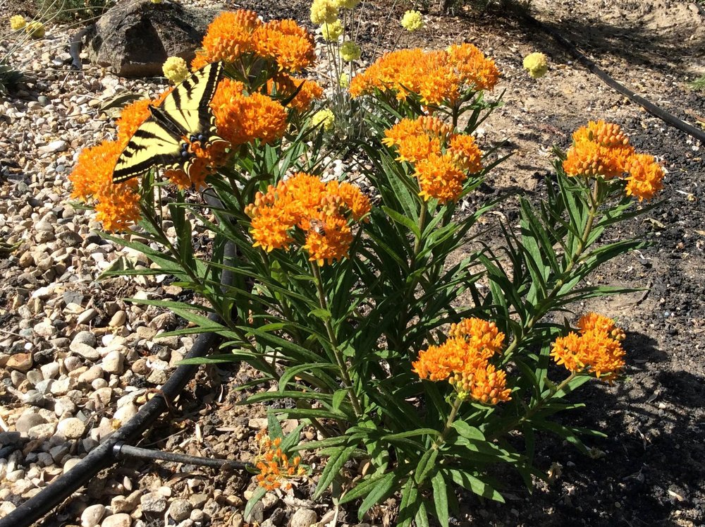 Milkweeds for butterflies - We have many native milkweeds which can be planted to attract all species of butterflies. Here is a Swallowtail butterfly on Asclepias tuberosa.