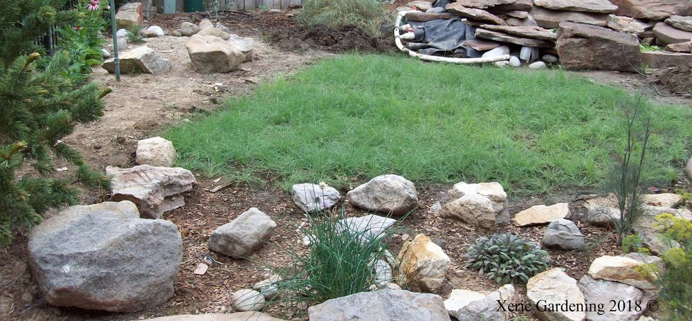 Bouteloua dactyloides,  Buffalo Grass