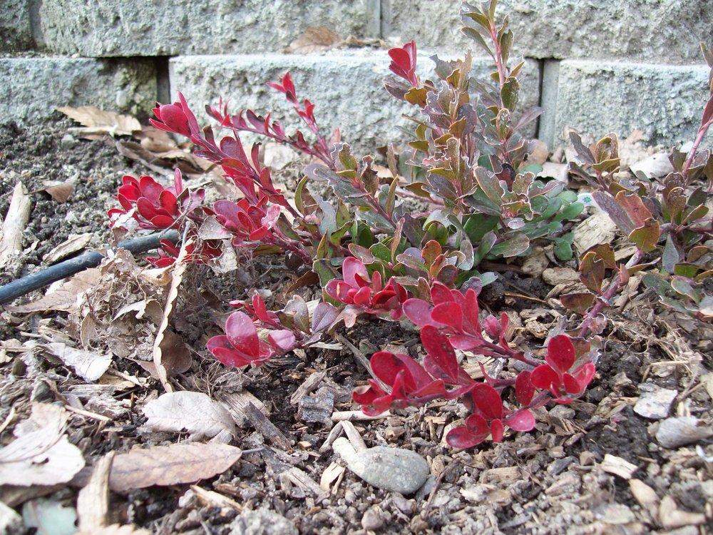 Arctostaphylos uva-ursi, Kinnikinnick