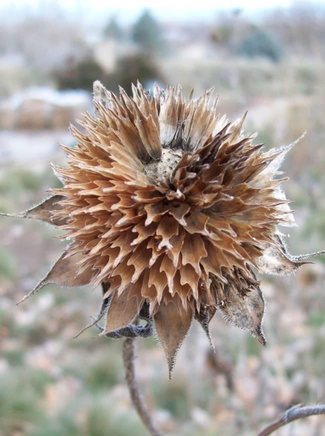 Helianthus annuus, Annual Sunflower