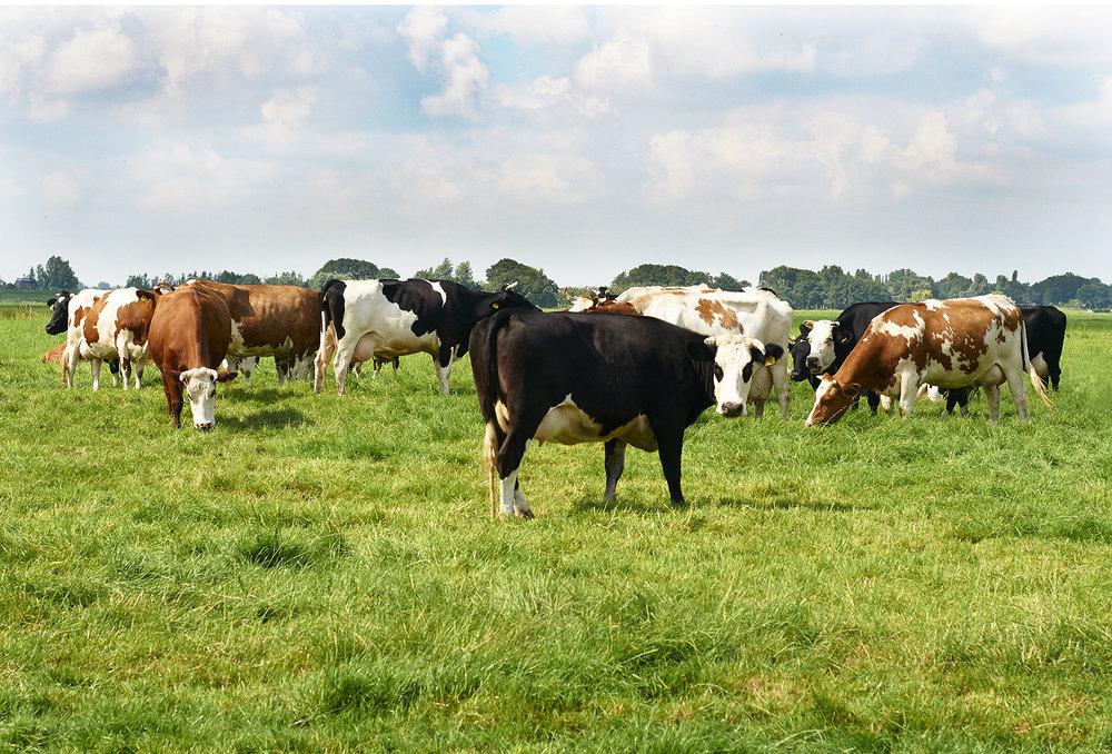 Cows  copy.jpg