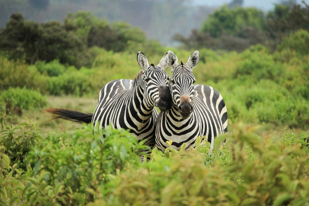 2 zebras together.jpg