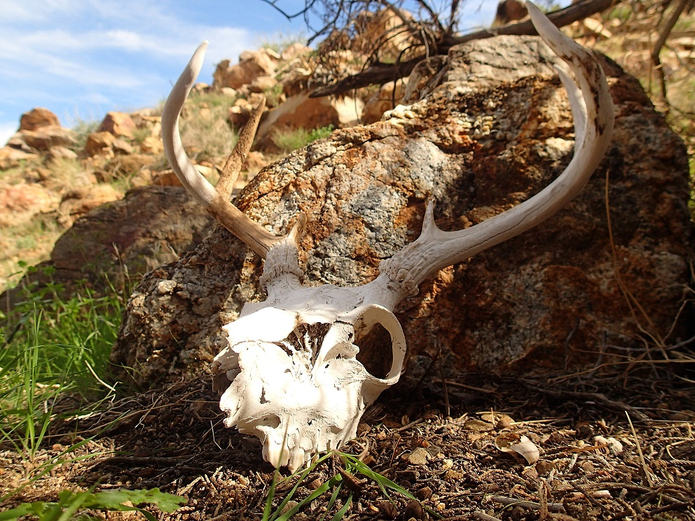 mule deer skull and antlers really small.jpg