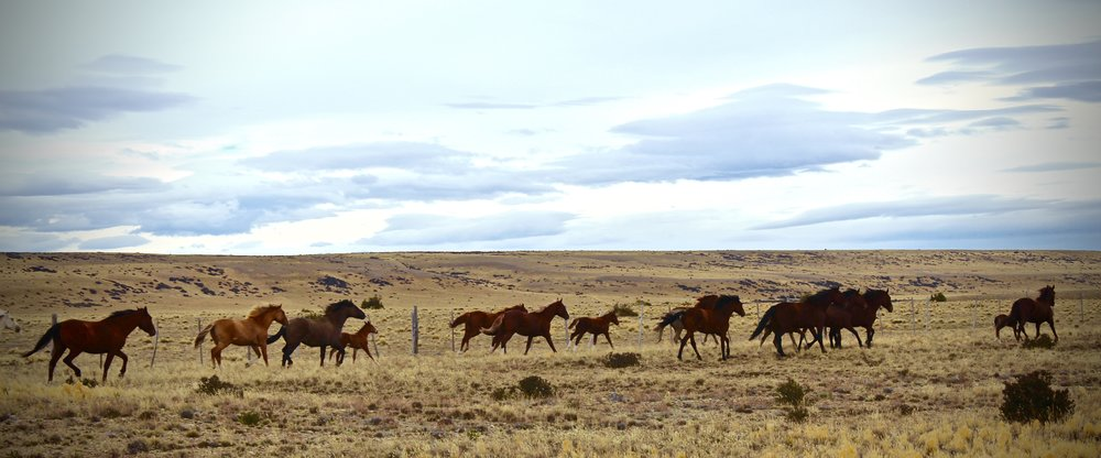 """Not exactly """"wildlife"""" but horses in Patagonia are a way of life and are abundant.This herd was running alongside the highway."""