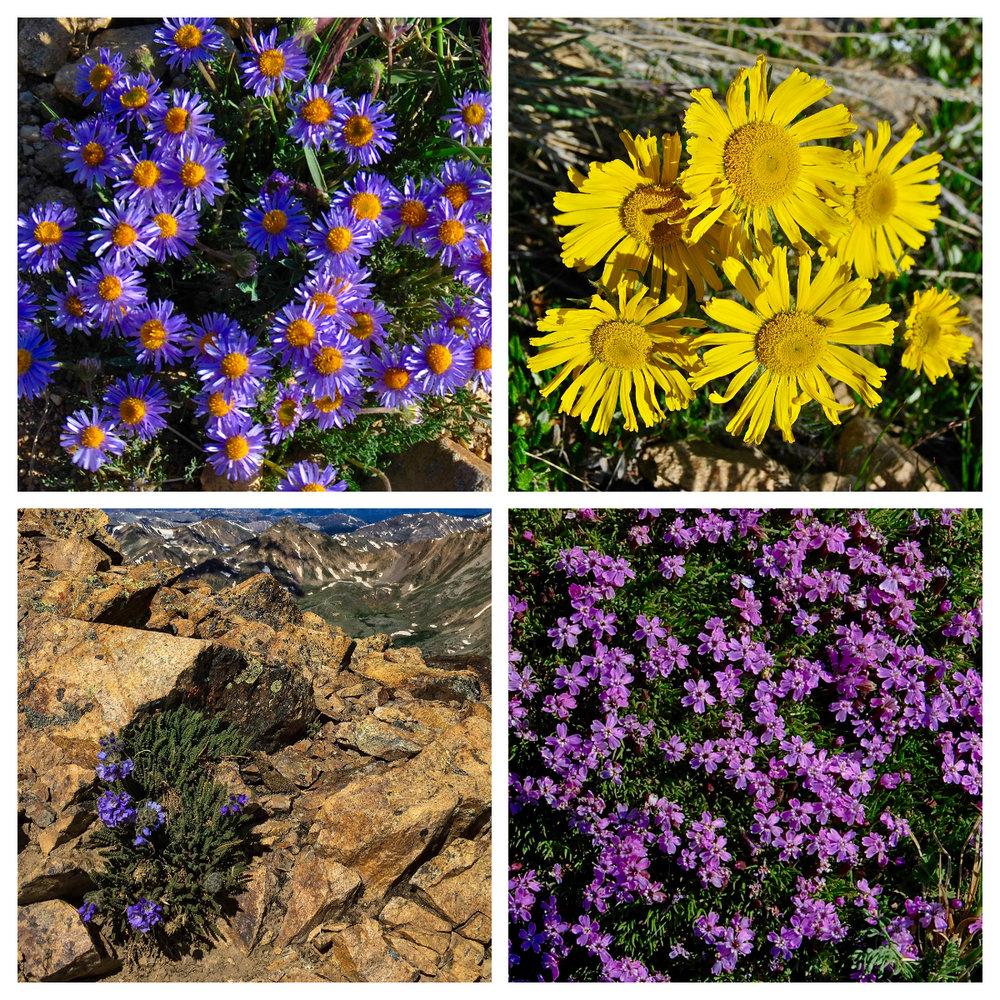 Aster,Alpine Sunflower,Alpine Sawsepal