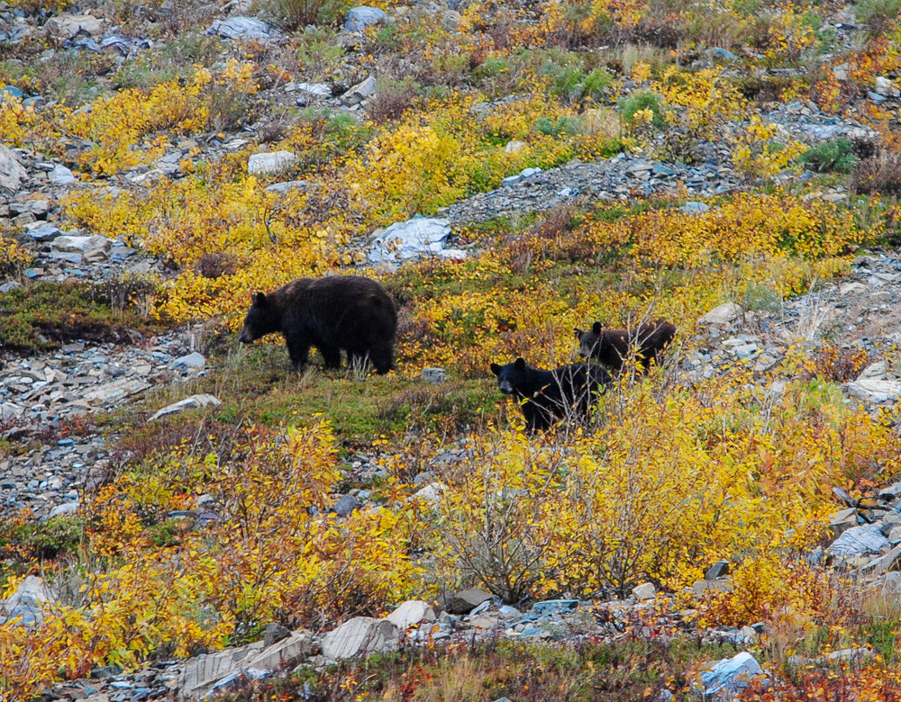 Mama black bear and two cubs near St. Mary, MT