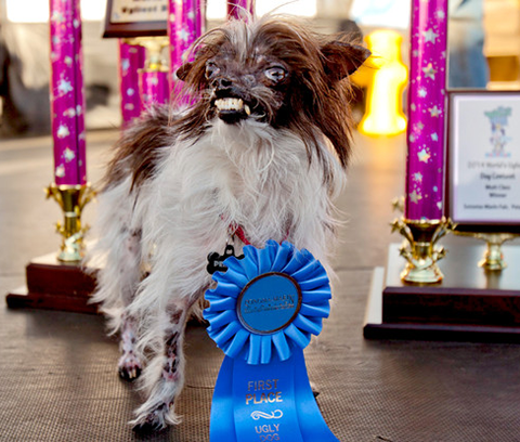 Peanut World Ugliest Dog 2014