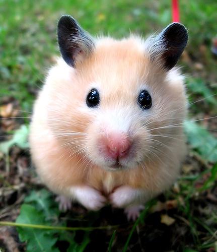 hamster_close_up.jpg