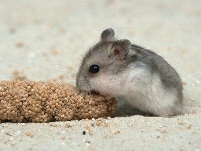 hamster_eating_d7vx.jpg