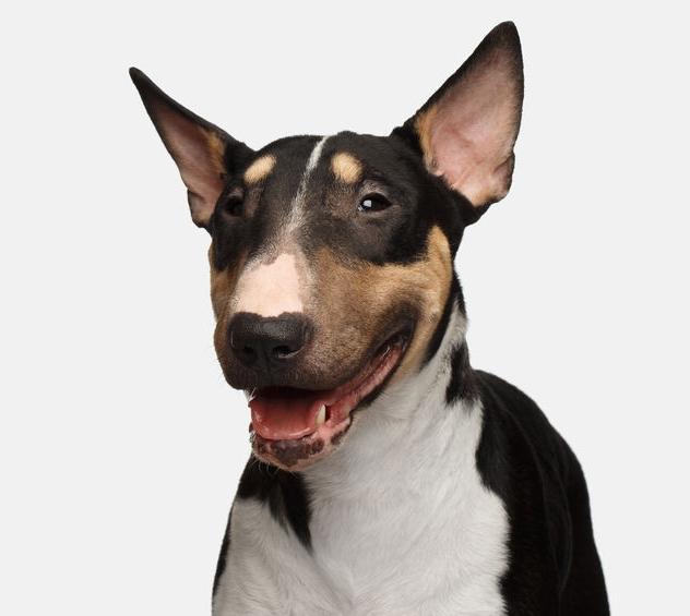 Bull terrier.jpg