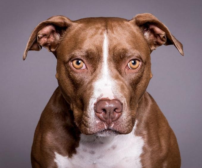 Sad pit bull.jpg