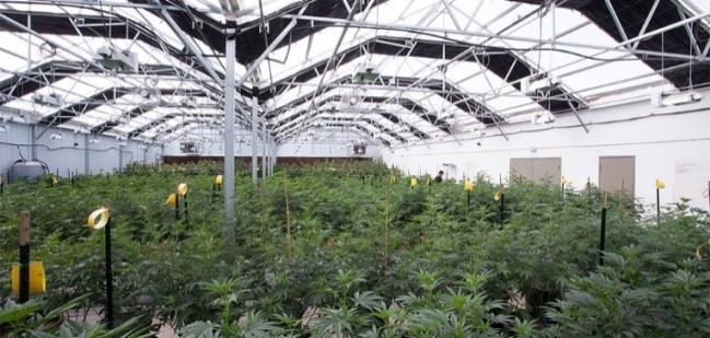 Macleay Valley Cannabis
