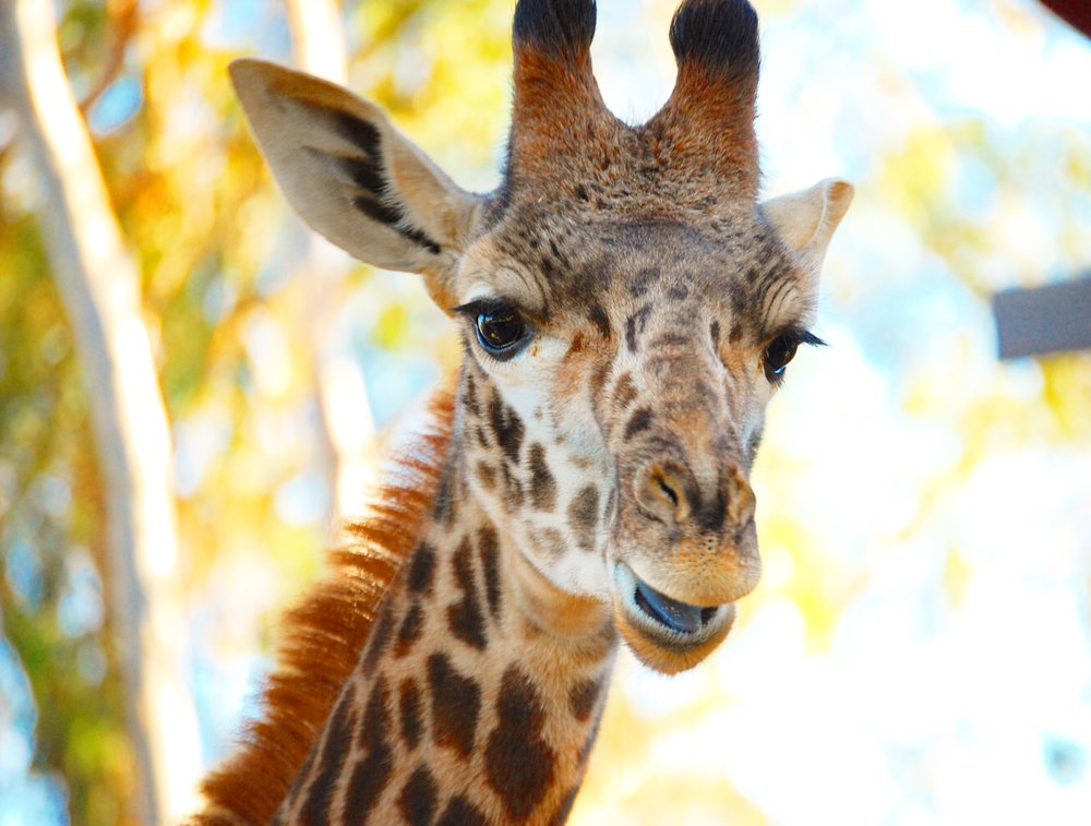 1. Giraffes - Giraffes are by far my favorite animal. Not only is the San Diego Zoo home to beautiful giraffes, but on Saturday's and Sunday's you can feed these beautiful creatures for just $10! Frequently in the spring, baby giraffes will be born at the San Diego Zoo.