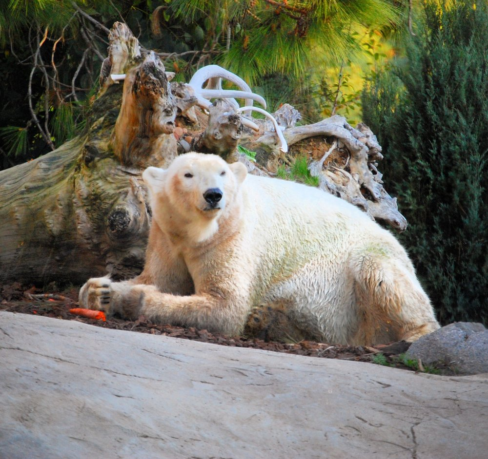 4. Polar Bears  - While you are saying hello to the reindeers, be sure to take a snap of the polar bears playing in their frozen tundra. My favorite time to catch these fluff balls is when they are playing with their giant 'beach balls'.
