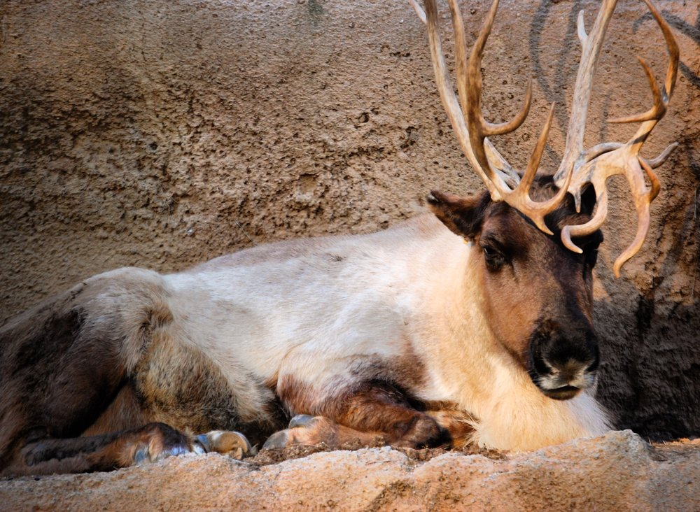 3. Reindeers - Santa left behind a couple of his reindeer for your enjoyment. I checked, but none of them have red noses. However, they are real creatures, but don't have the capability to fly. These furry friends are beside the polar bear exhibit.