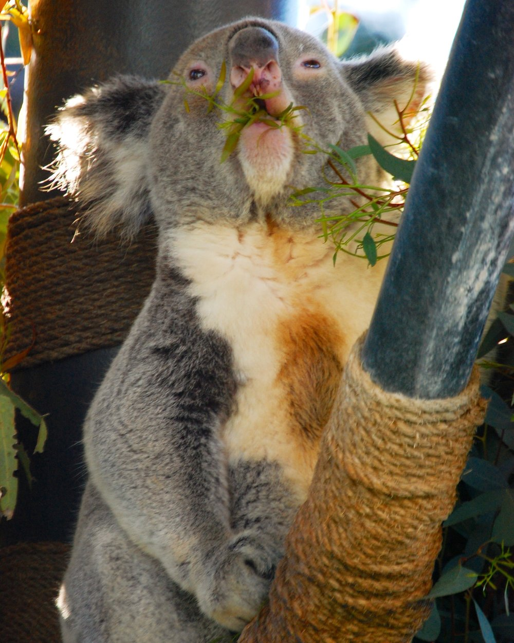 7. Koalas - Koalas– In the Australian Outback section, you can find these sleepy, cuddly koalas. A common misunderstanding about koalas is people often think they are bears. This is not the case, because they simply don't meet the koalafications! Koalas are nocturnal, but every so often they will open their sleepy little eyes to peak at their bamboo!