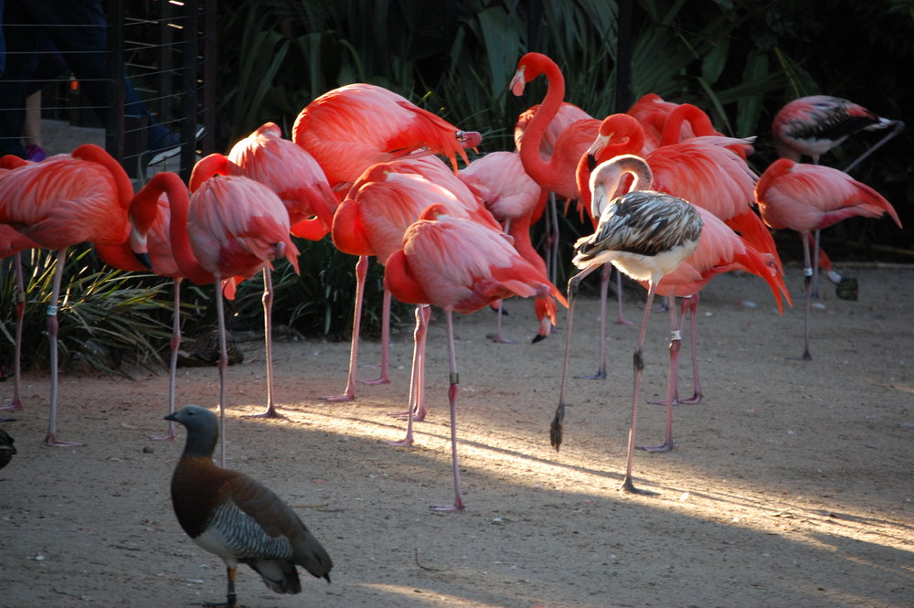 The bright pink color of flamingos comes from the pink shrimp they eat!