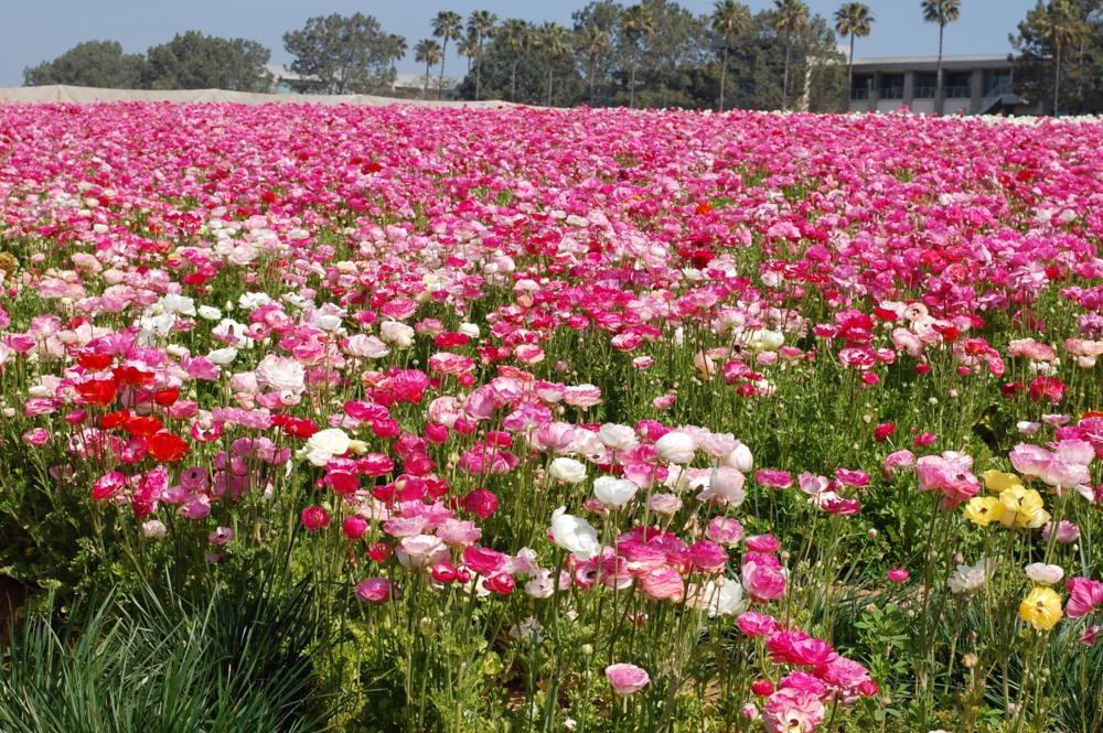 flower fields nine.png