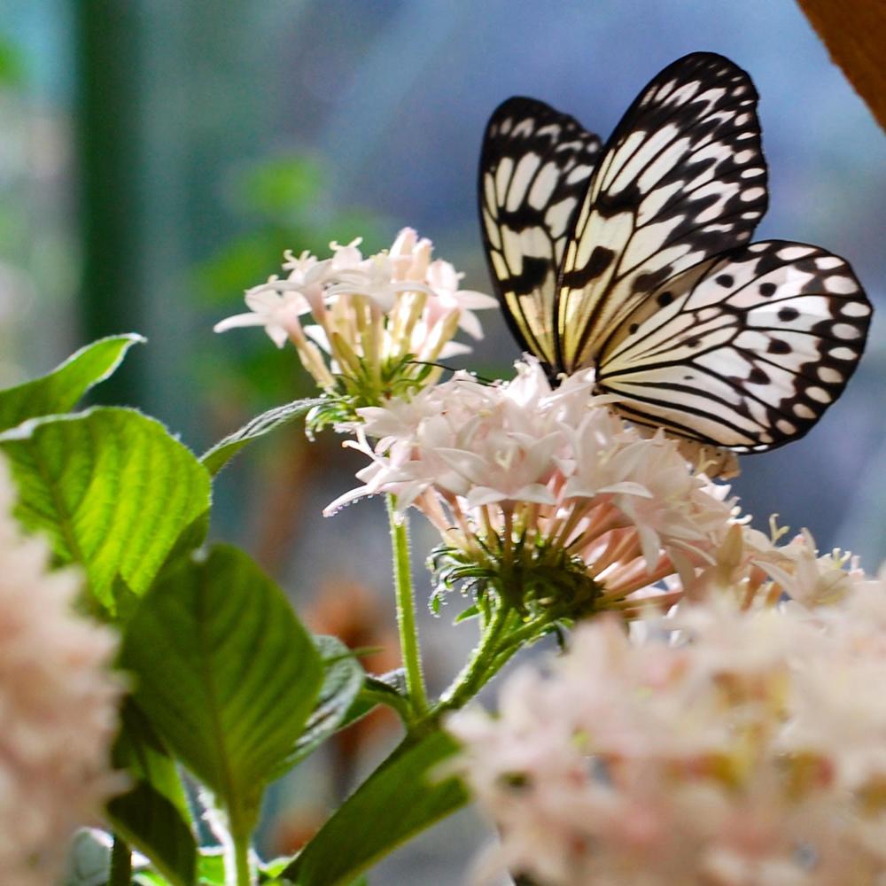 2.Butterflies at the San Diego Safari Park -