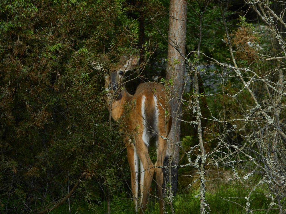 Wild animals close to helsinki deer