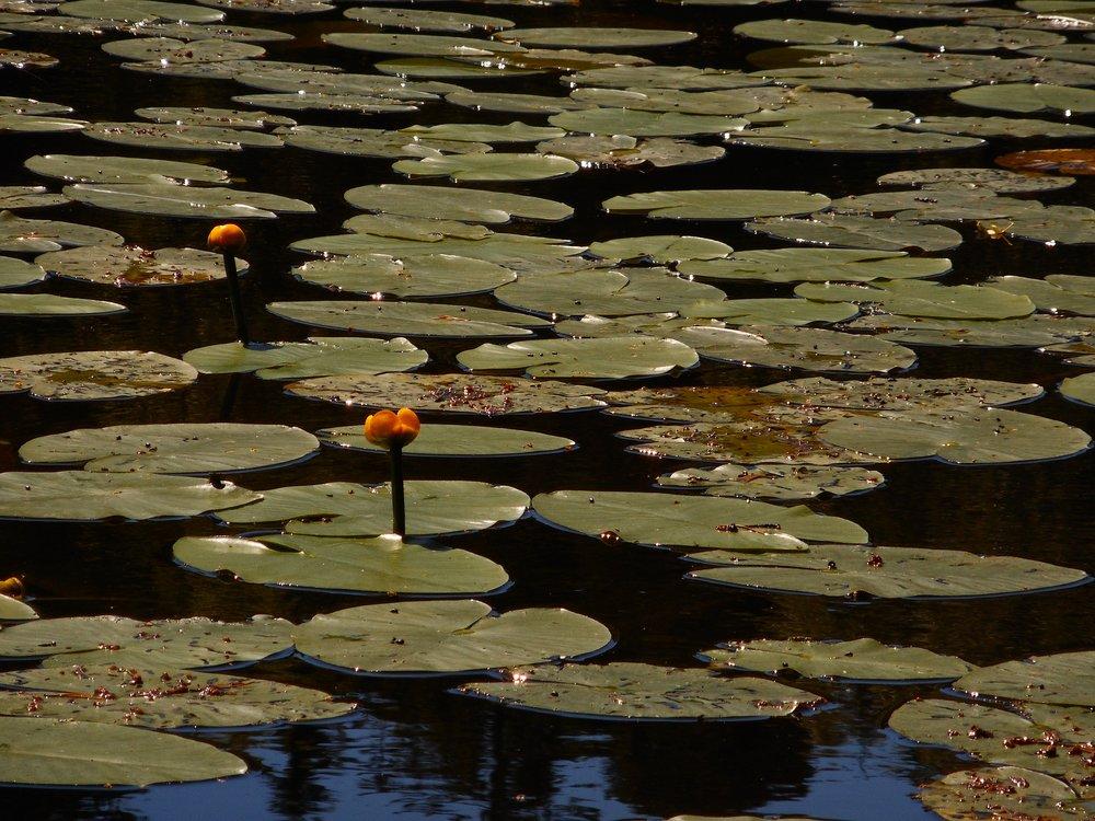 Waterlilys Nature trip Helsinki