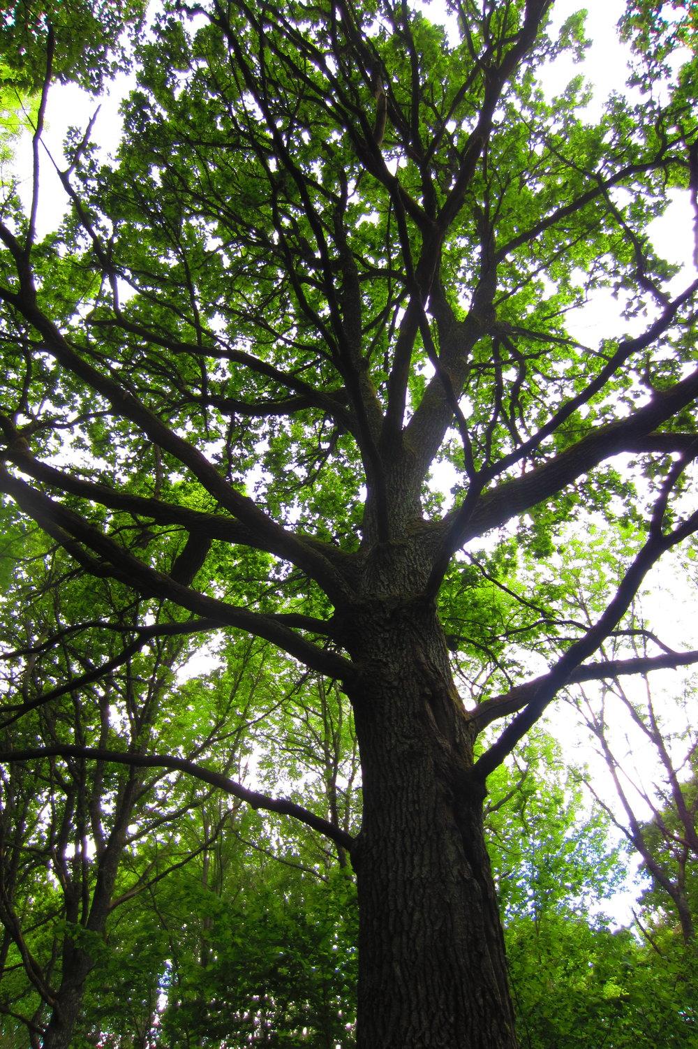 Beautiful old tree close to Helsinki