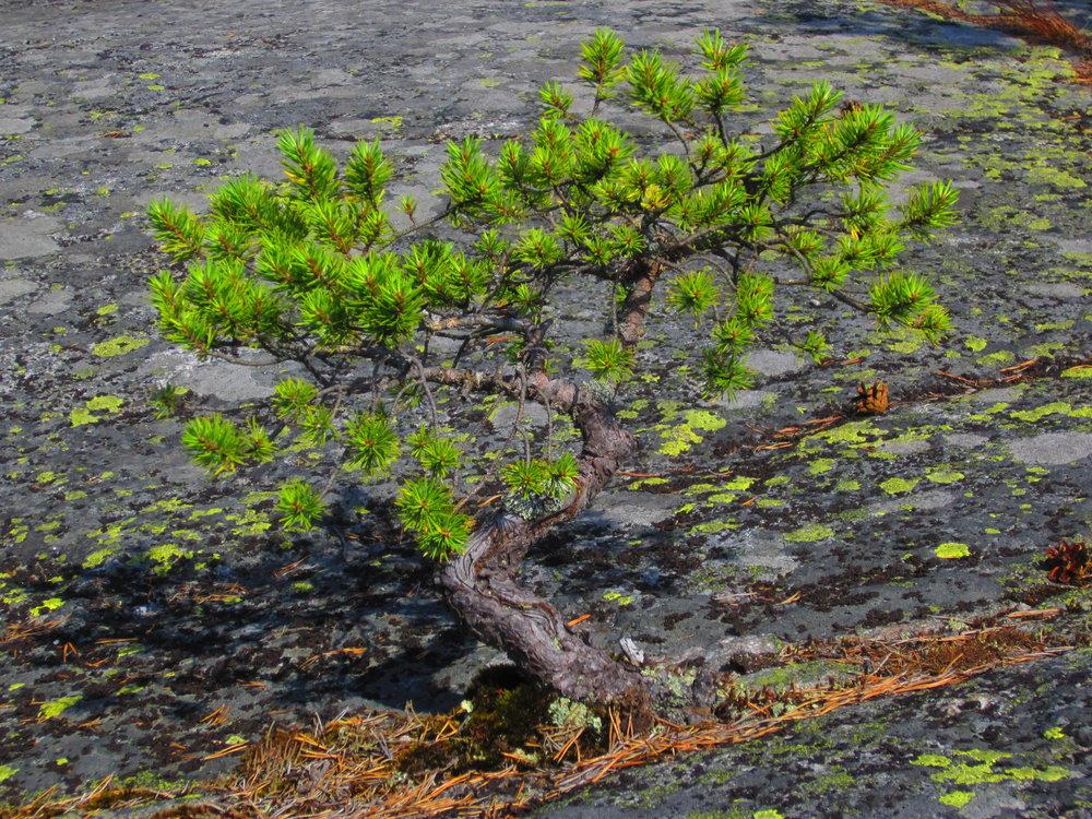small tree on rocks visit Helsinki nature