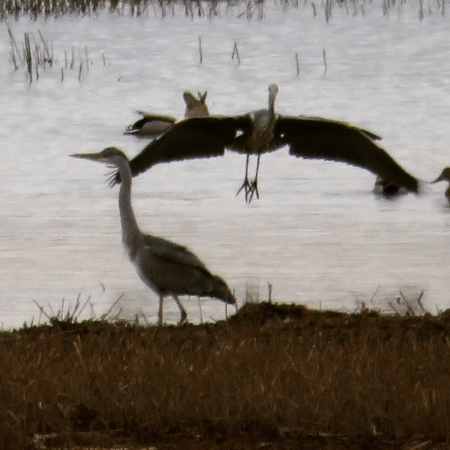 Very many #migratingbirds have already arrived to #finland ! Welcome to #birdwatchingtrip with Lomitravels!  #harmaahaikara #greyheron #lomitravels #lominaturetravels  #visitfinland #visithelsinki  #myhelsinki #finlandnature #finnishnature #finlandnaturally  #bestoffinland #beautyofsuomi