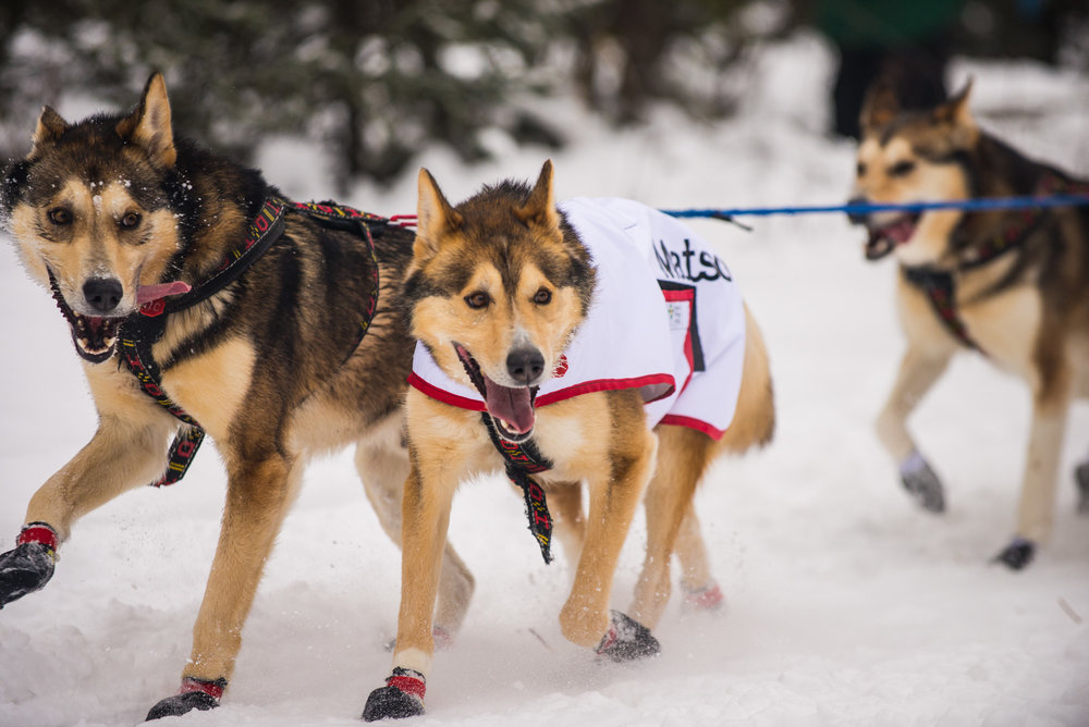 Meredith Berg Photography Anchorage Alaska Dog Pet Photographer Iditarod 2018-106.jpg