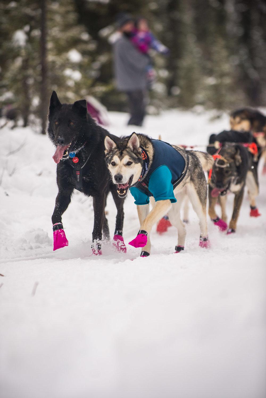 Meredith Berg Photography Anchorage Alaska Dog Pet Photographer Iditarod 2018-116.jpg