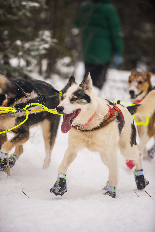 Meredith Berg Photography Anchorage Alaska Dog Pet Photographer Iditarod 2018-128.jpg
