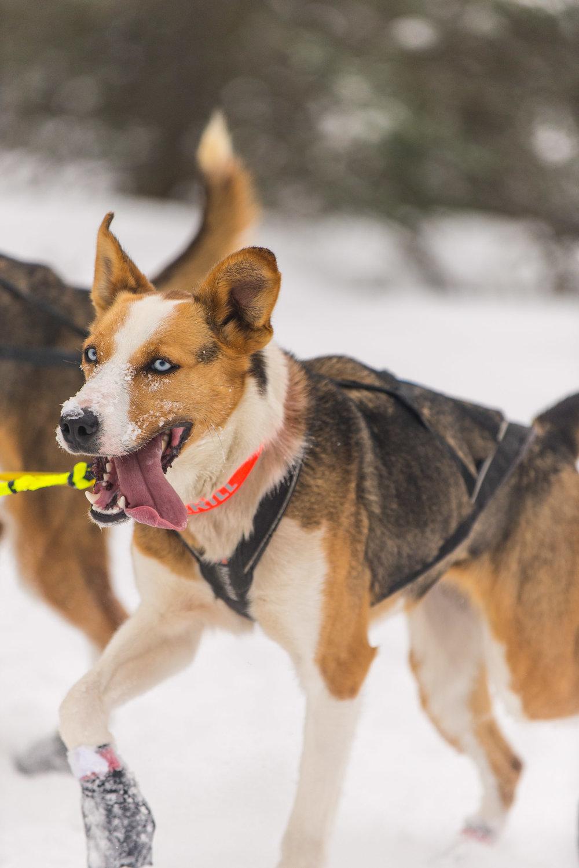 Meredith Berg Photography Anchorage Alaska Dog Pet Photographer Iditarod 2018-132.jpg