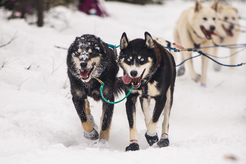 Meredith Berg Photography Anchorage Alaska Dog Pet Photographer Iditarod 2018-151.jpg