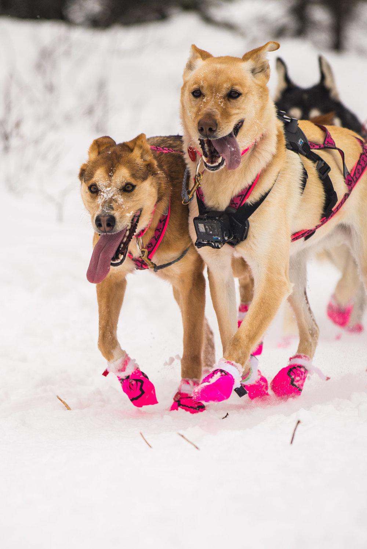 Meredith Berg Photography Anchorage Alaska Dog Pet Photographer Iditarod 2018-175.jpg