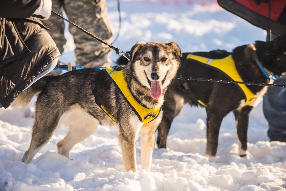 Meredith Berg Photography Anchorage Alaska Dog Pet Photographer Iditarod 2018-701.jpg
